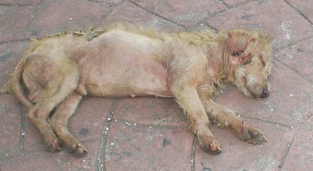 70 De Los Perros Callejeros Tienen Un Dueño Irresponsable Ssm
